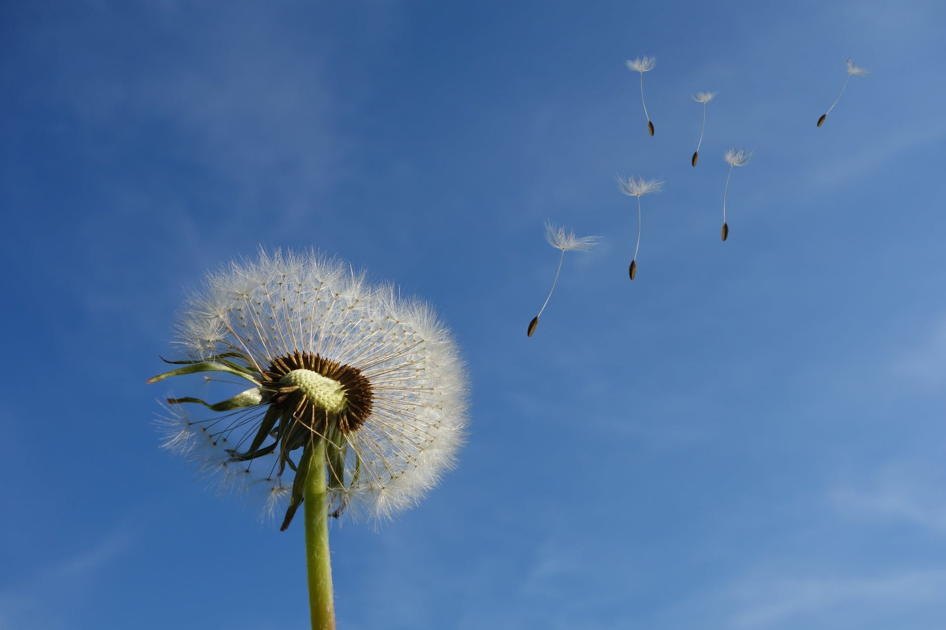 A photo of a dandelion and it's seeds being carried away in the wind.