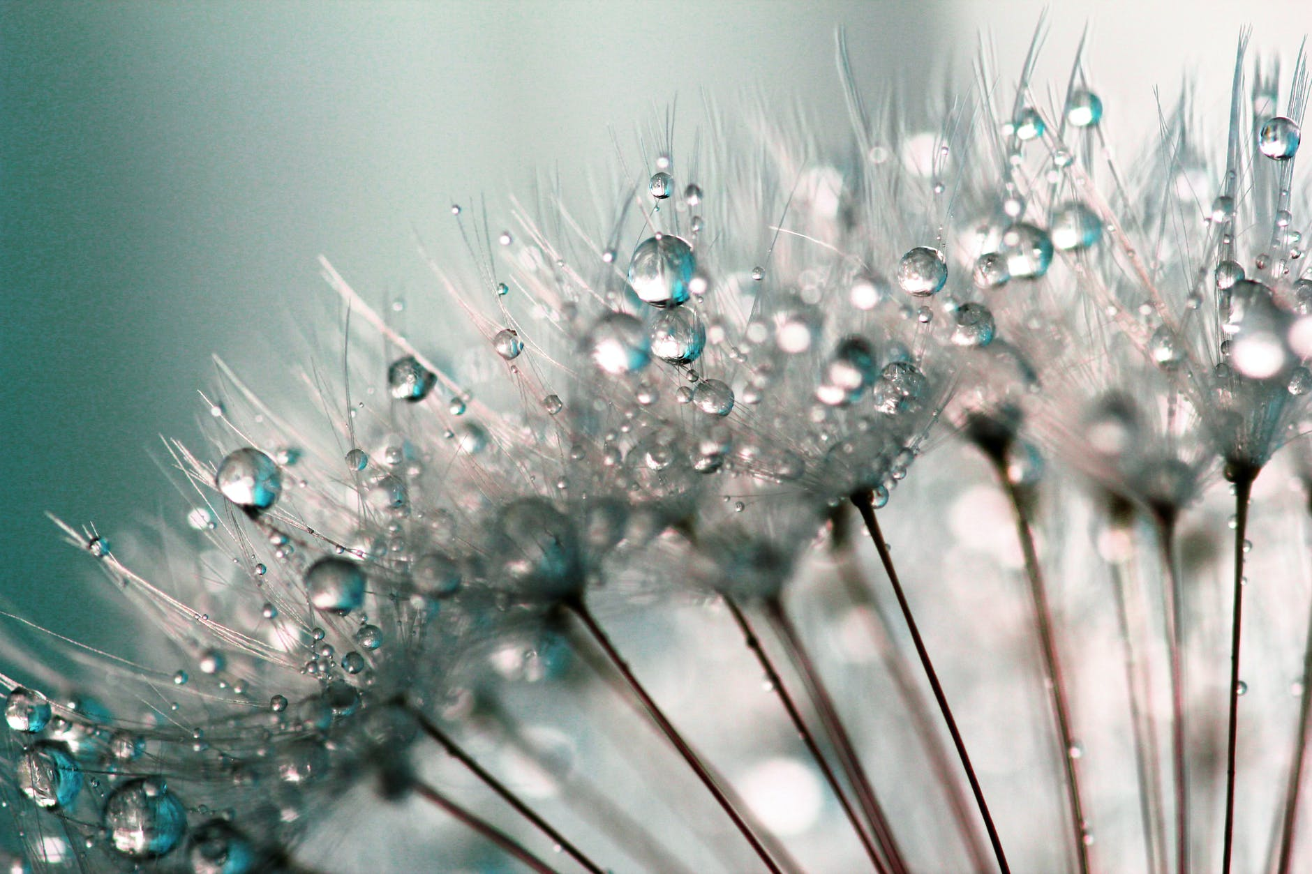 A photo of some dandelions up-close with droplets of morning dew.