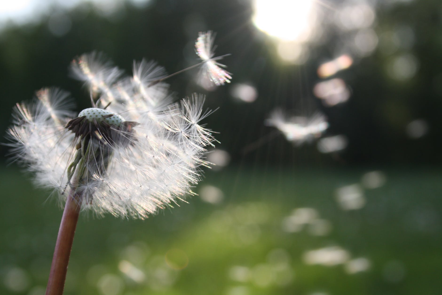 A colorful close-up photo of a dandelion blowing in the wind.
